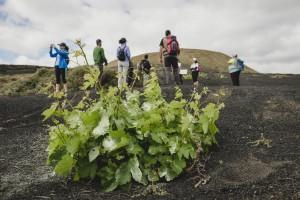 La uva Malvasía volcánica es propia de Lanzarote