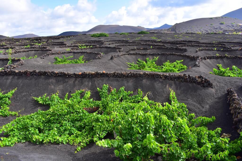 Ayudas-para-el-cultivo-de-la-viña-en-Lanzarote-Canarias-marzo-2019