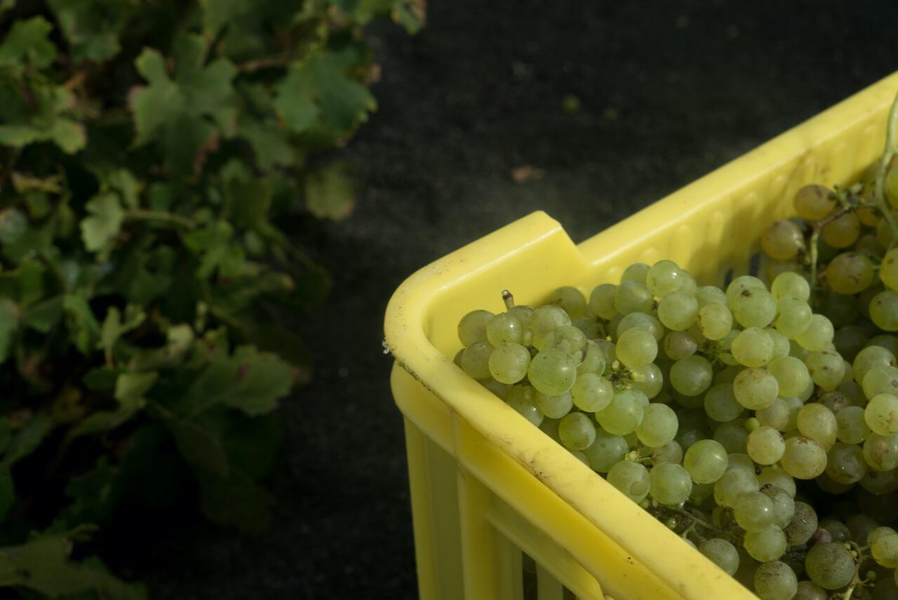 El Consejo Regulador de la Denominación de Origen Vinos de Lanzarote se prepara para la vendimia 2020
