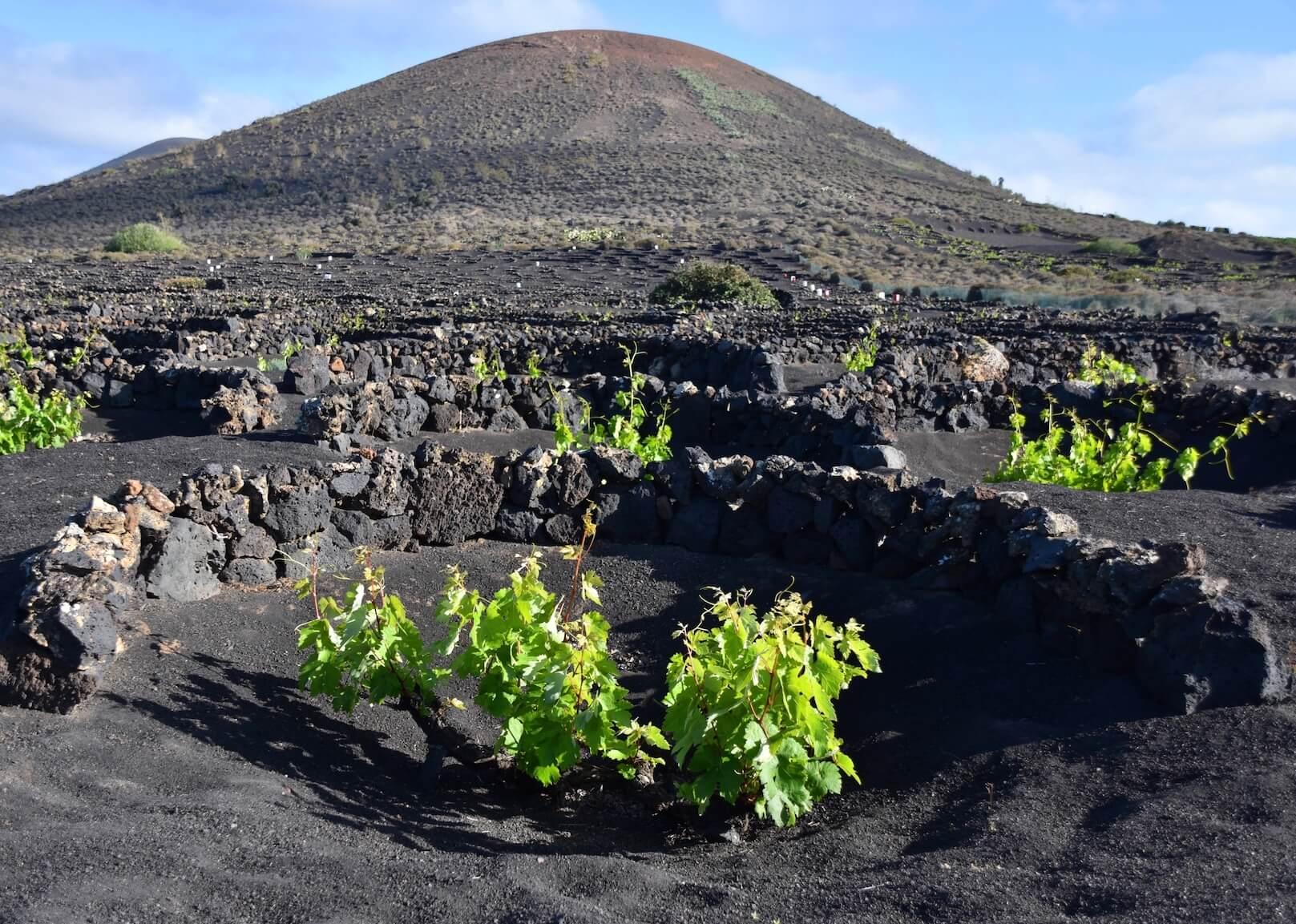 Contraetiquetas añada 2020 vinos de Lanzarote