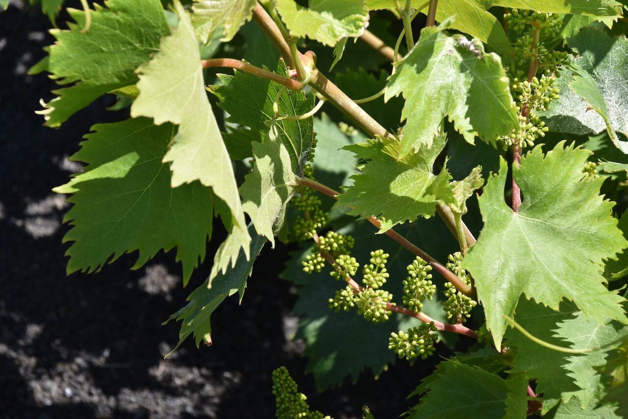 CIFP Zonzamas curso vitivinicultura Lanzarote