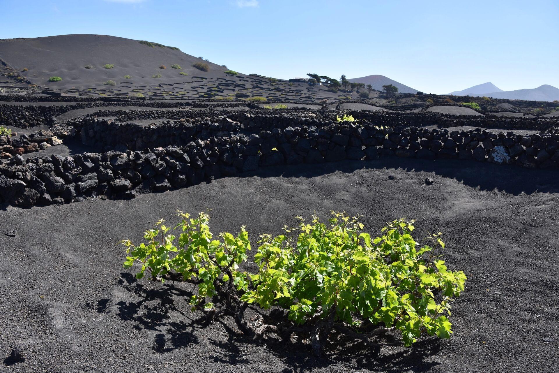 Consejo Regulador DO Lanzarote ayudas reestructuración viña Canarias 2021-2